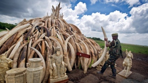 A ranger from the Kenya Wildlife Service (KWS) adjusts the positioning of tusks on one of around a dozen pyres of ivory, in Nairobi National Park, Kenya Thursday, April 28, 2016.  (AP Photo/Ben Curtis)