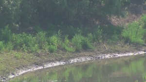 A Brampton resident told police there was a tiny reptile spotted in a drainage pond.