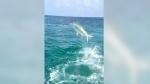 Aquatic battle: Shark vs. tarpon near fisherman's