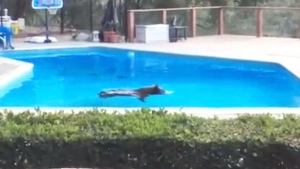 Extended: Bear takes a dip in pool