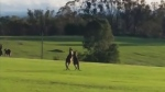 Pair of kangaroos throw punches in tranquil park