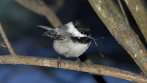 In this Dec. 11, 2004, photo provided by Gill Robert, an independent contributor for the Beak Deformity and Banded Bird Observation Report/USGS Alaska Science Center, shows a black-capped chickadee with a deformed beak in Anchorage, Alaska. (Gill Robert/Beak Deformity and Banded Bird Observation Report/USGS Alaska Science Center via AP)