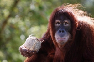 In this Dec. 31, 2015, file photo, Tsunami, an eleven-year-old female Sumatran Orangutan eats fruit during her birthday celebration at the National Zoo Ape Center in Kuala Lumpur, Malaysia. Primates are heading toward an extinction crisis, a new international study warns. (AP Photo/Joshua Paul, File)