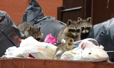 A group of raccoons take advantage of the growing piles of garbage in Toronto's Chinatown neigbourhood, Tuesday, July 7, 2009.