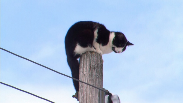 cat on hydro pole