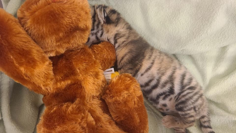 Toronto Zoo Amur tiger cub