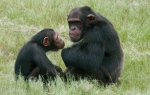 Chimpanzees sit in an enclosure at the Chimpanzee Eden rehabilitation center, near Nelspruit, South Africa. (AP / Erin Conway-Smith)
