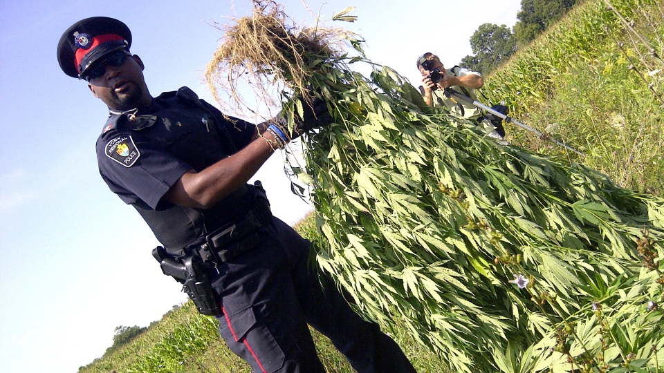 A York Regional Police officer holds one of several hundred marijuana plants found in a corn field near Markham on Thursday, Aug. 16, 2012. (CTV Toronto/Colin D'Mello)