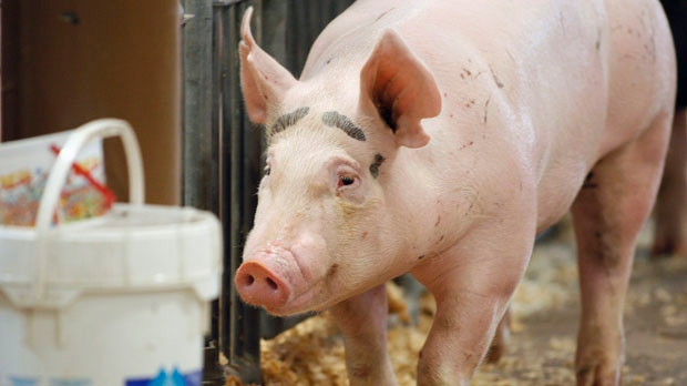 A pig makes its way through the Swine Barn at the Ohio State Fair in Columbus on Aug. 1, 2012. (Columbus Dispatch / Kyle Robertson)
