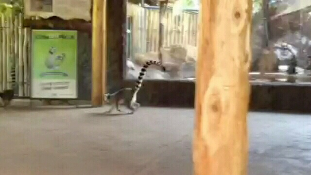 Two long-tailed lemurs escaped their pens at the Toronto Zoo on Wednesday, Aug. 29, 2012.