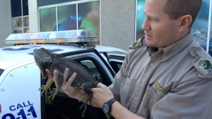 A Reptilia employee holds a lizard that was discovered at the Albion shopping centre in Etobicoke on Sept. 3, 2012. (Tom Podolec / CTV Toronto)