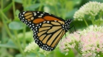 Monarch Butterfly in flower garden, Sharbot Lake, Ontario. (Viewer photo submitted by: Andy VandeSande )