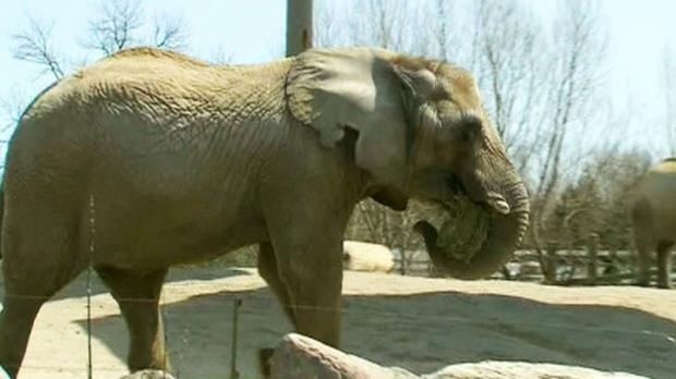 Toronto Zoo elephant
